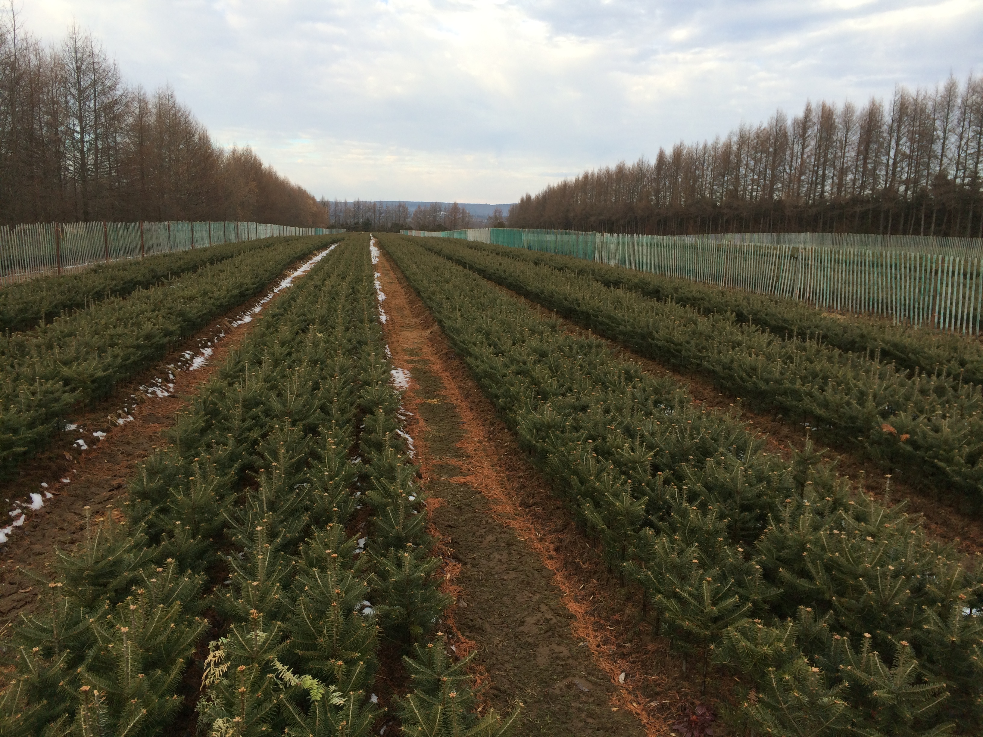 Field of fir trees 2-2 ready for harvest